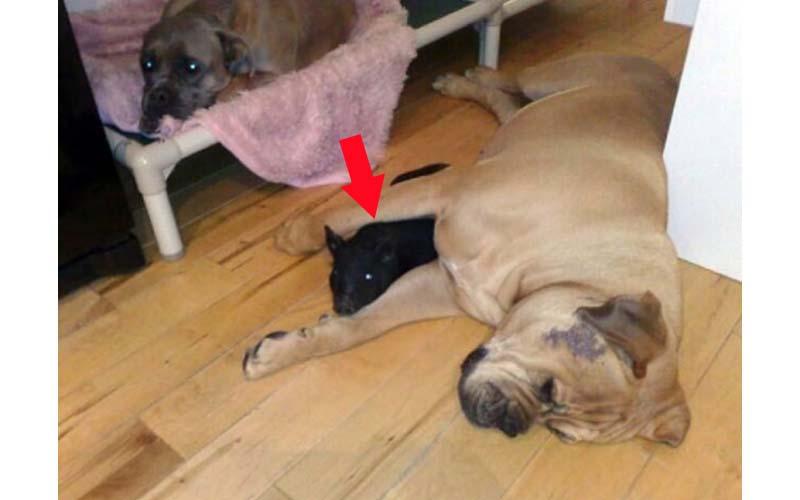 她在寵物店帶回來兩隻黑色的可愛迷你豬,誰曉得過了半年後牠們竟然比狗還可怕!!