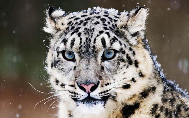 雪豹身體的某個部位可是傲視群雄的一個象徵喔!你猜猜是哪裡?