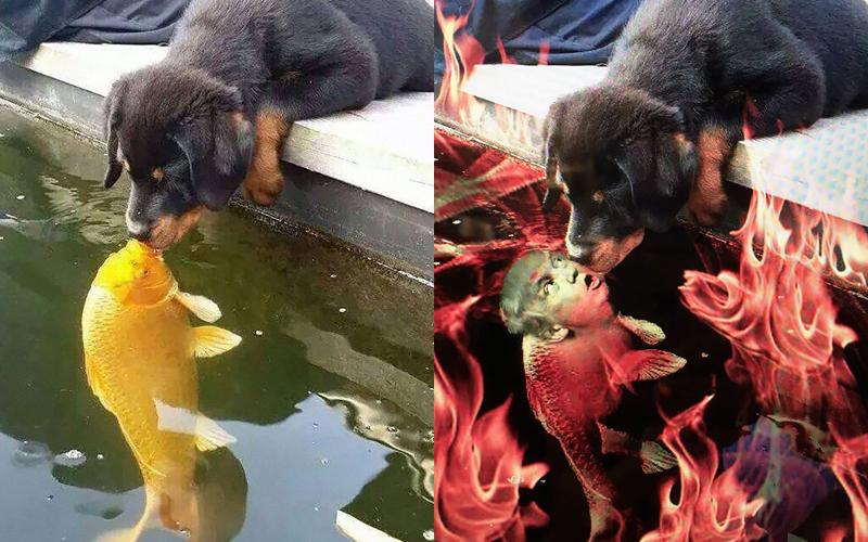 網路上爆紅的狗狗親魚的照片,讓人看到心都暖化了…為了慶祝他們的愛情,網友們又開始P圖啦XD