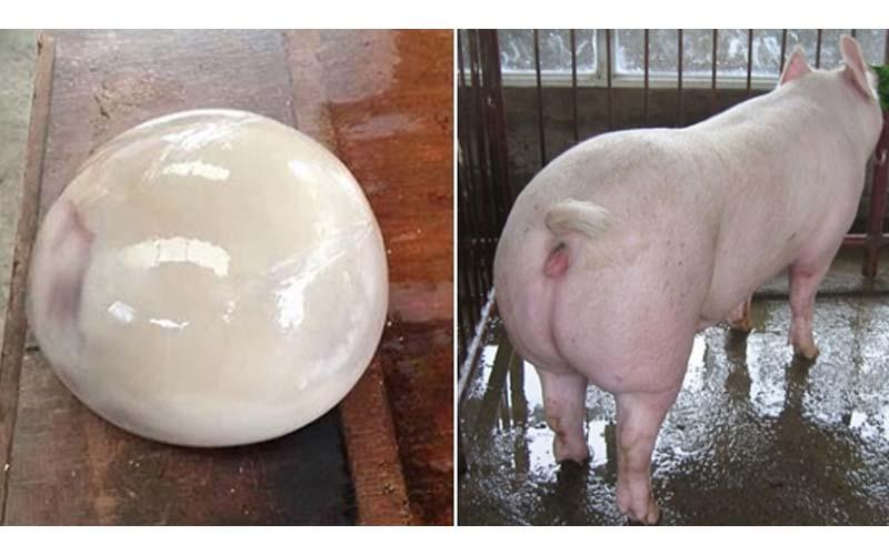 豬農剖開豬的肚子後得到一顆「珍貴豬寶」,但專家卻說這東西碰不得啊!!