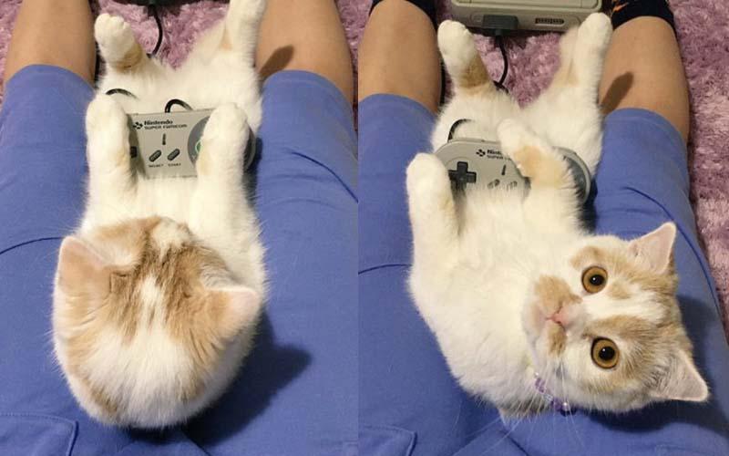 奴才兩腿之間就是牠最舒服的座位,當萌貓主子抬頭看我時,每次都要融化了!