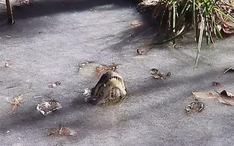 美國超級寒流來襲,河面全結滿「鱷魚冰」意外揭發「驚人生存方式」!
