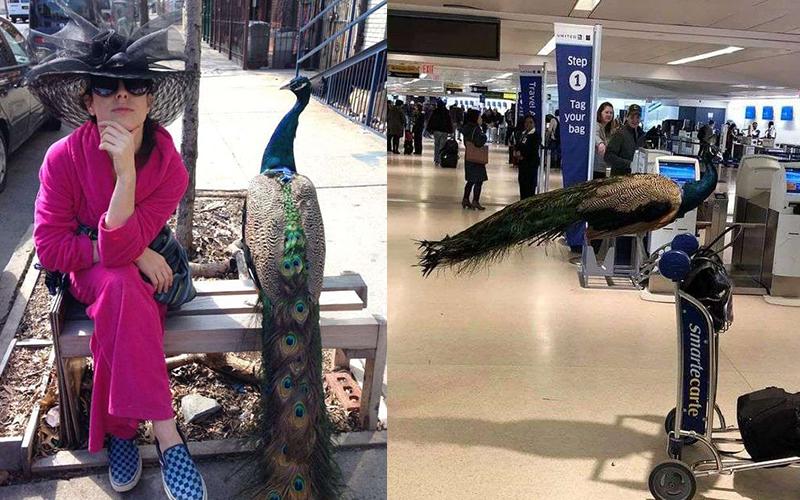 藝術家「很需要牠」堅持帶孔雀上飛機!航空公司傻眼:不可以啦(影)