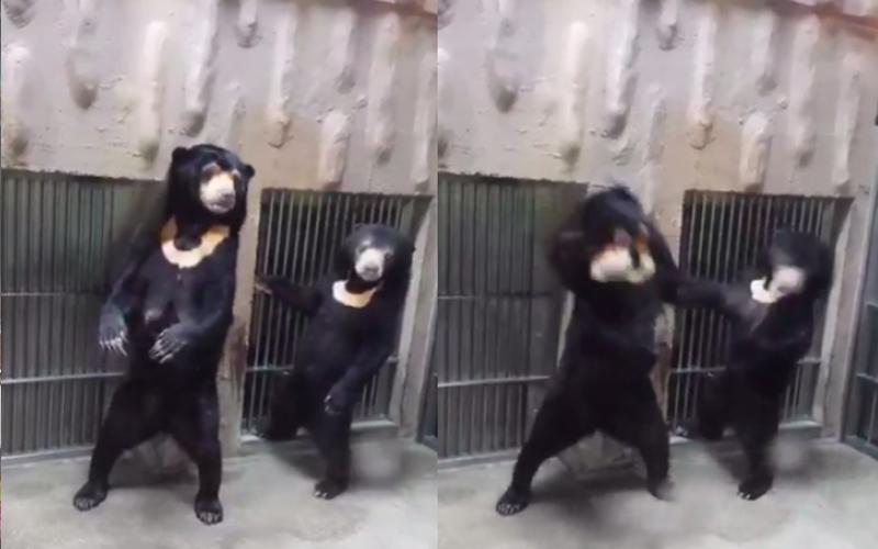 熊媽媽突然「一記左勾拳」揍在孩子臉上,無辜小熊臉歪傻眼:黑熊問號???????