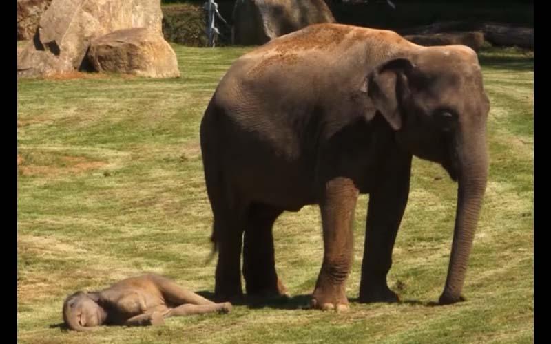 小象突然倒地吐舌頭嚇壞象媽媽,保育員過來晃動幾下後,全場都笑了!