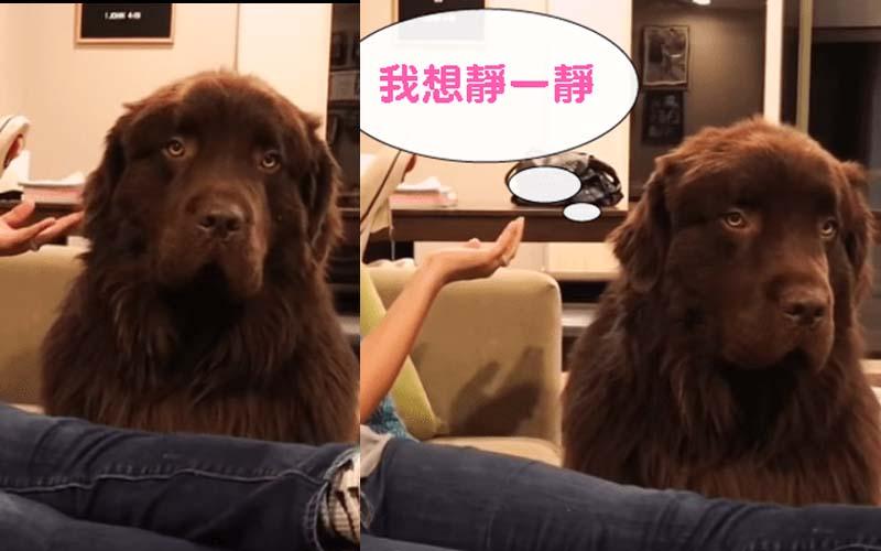 大狗原本一臉厭世生氣氣,後來媽媽跟牠道歉後,牠立刻撒嬌飛撲!