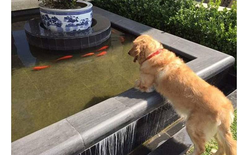 一隻愛上觀賞金魚的黃金獵犬,根本自以為社區魚池管理員!但當有天池子被抽乾時...