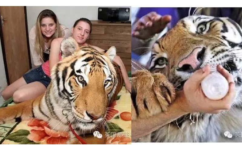 「世界上最愛老虎的一家人」他從馬戲團救出兩隻大老虎後就一路生活到生了一堆老虎寶寶!
