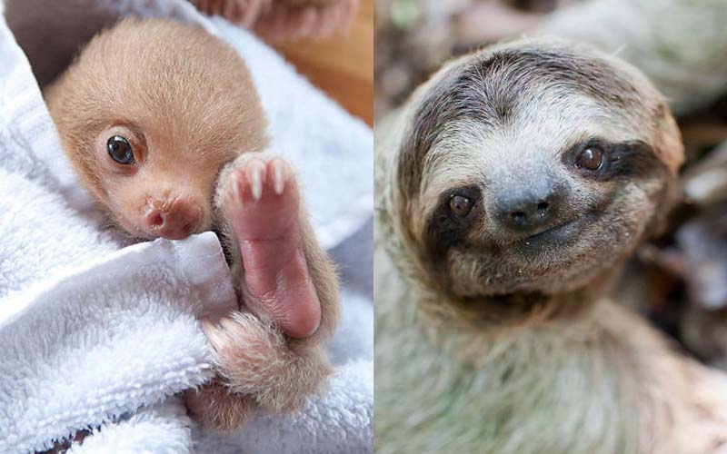 萌萌樹懶告訴你「慢才是萌的王道啊!」30張可愛樹懶分享!