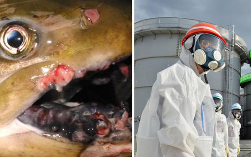 如果這些核災食品進到台灣,你敢吃嗎?這些遭輻射的魚類一切開後竟然...
