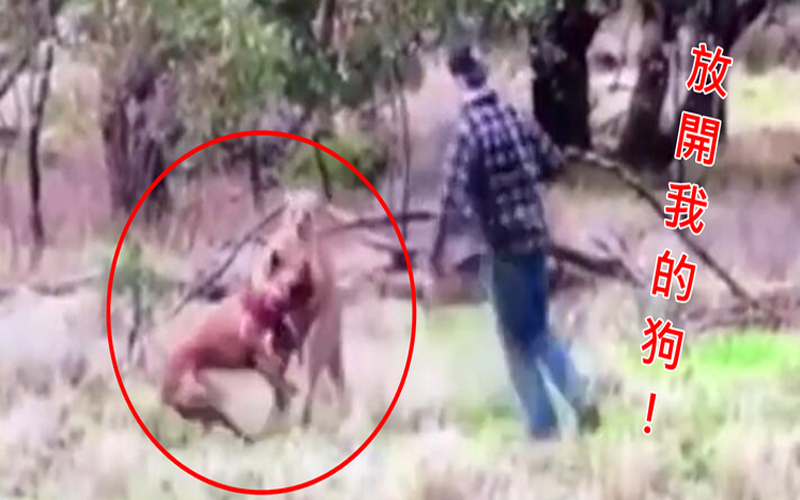 看到愛犬快要被袋鼠勒死...他竟勇敢衝上前用「終極刺刺拳」揍傻功夫袋鼠落荒而逃!