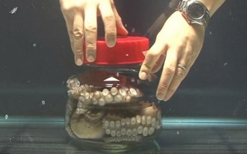 把一隻大章魚鎖緊在透明玻璃桶中,牠竟聰明到「這樣逃脫」!太神了!