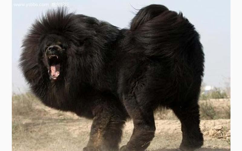 為您盤點世界上「十大最兇猛的狗」,第一名的狗竟然會將主人咬死!!