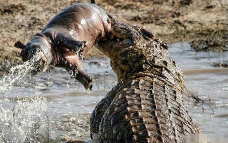 鱷魚得意的咬死孤零零的小河馬 ,但一回頭發現「他老媽站在後面現在非常火」