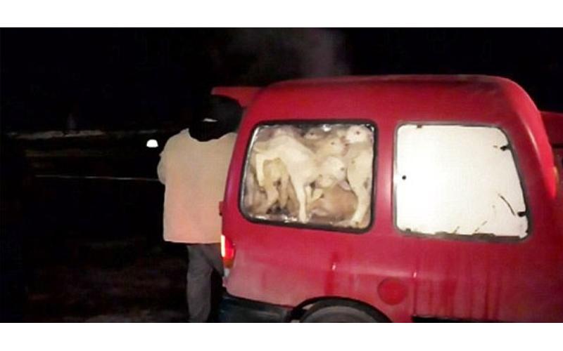 警察攔下這輛「載著綿羊的小車」開始數隻,怎知數到最後現場的大家都傻了!