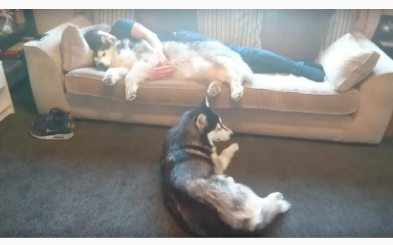 「把拔你不是說最愛我嗎?」哈哈看著爸拔緊抱另一隻雪橇犬熟睡,牠露出委屈表情!!