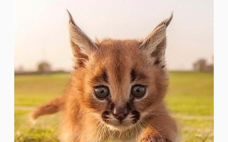這種外型特別的貓咪可是世界上非常珍貴的品種喔!在不少國家養牠們可是違法的呢!