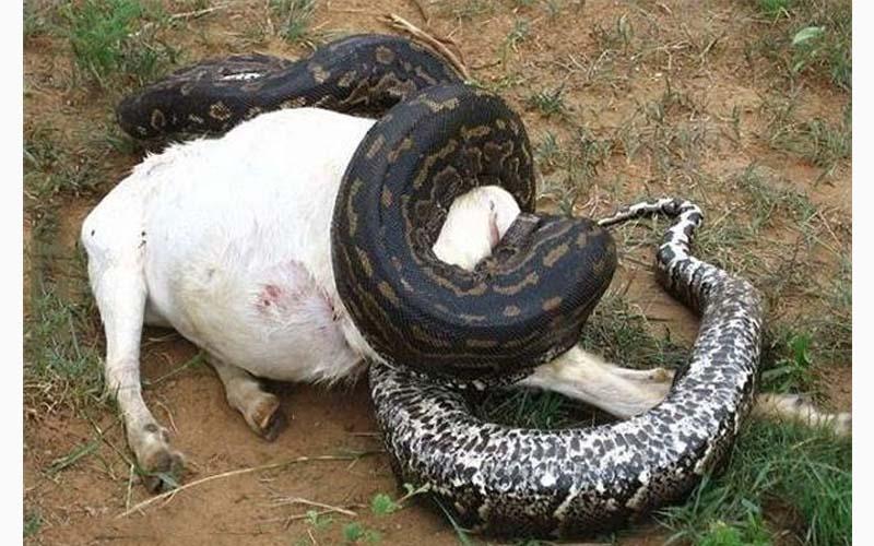 村民們合力抓了一條大蛇,肚子那麼鼓懷疑牠吞了誰家的牛,結果一剖開震驚全村人!!