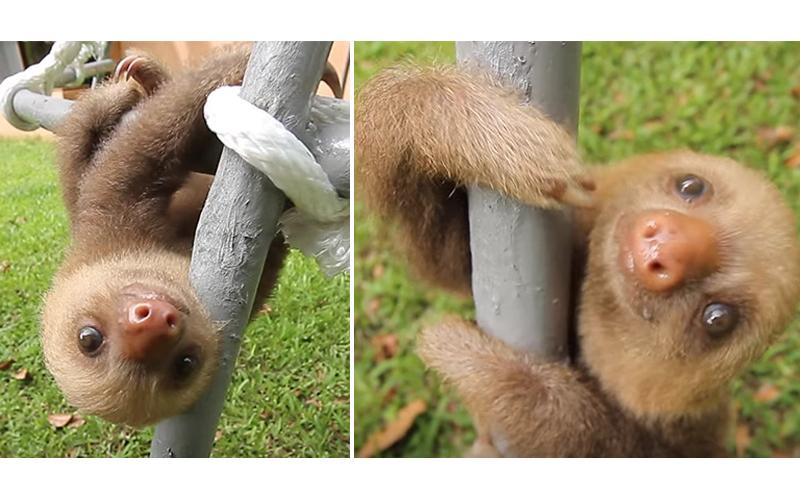 太療癒!兩隻超萌「小樹懶」聊天對話,開口的瞬間秒笑噴XD!(影片)