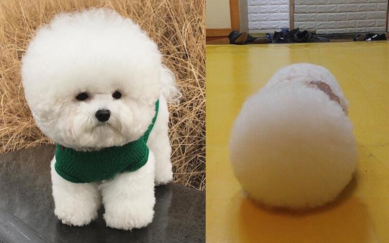 療癒無比的牠,簡直就是移動式棉花糖啊!讓人分不清是狗還是熊,萌炸了!