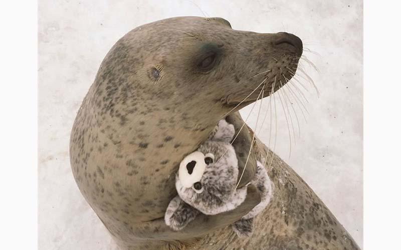 動物園飼養員送了一隻布偶給海豹,沒想到牠非常喜歡還無時無刻緊抱著!萌慘了!