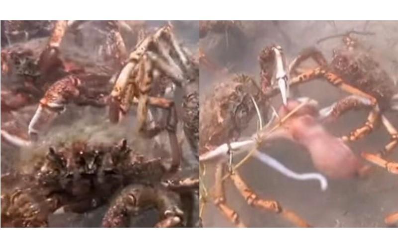 章魚哥誤闖帝王蟹遷徙隊伍…竟慘遭蟹群兇殘分屍,看了讓人不寒而慄!(圖+影)