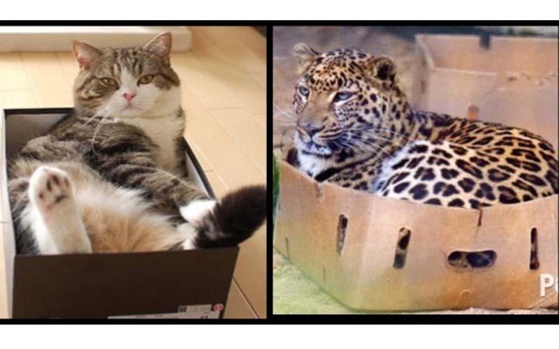 科學家:「你家喵主子真的很需要一個盒子」因為封閉空間能給貓帶來滿滿安全感啊!