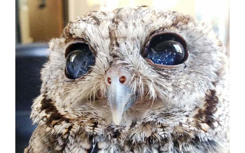 這隻小貓頭鷹雖然看不見,可牠卻擁有一片璀璨星辰的雙眼!很美!