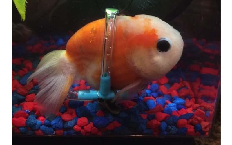可憐的小金魚無法自行游泳,主人向水族館求救,便為牠特製了一個金魚專用輪椅!