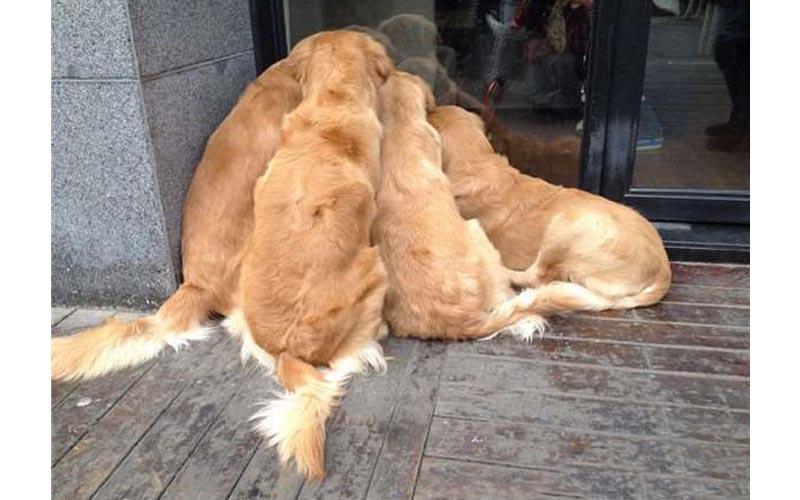 帶四隻黃金出門散步,經過一家店門口竟然四隻停止不動好像被什麼吸住,主人就近一看被萌慘了!!