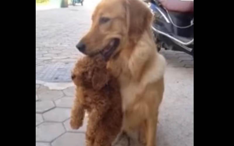 小貴賓玩太瘋不想回家,大哥黃金叼著牠強行帶回家!(影片)