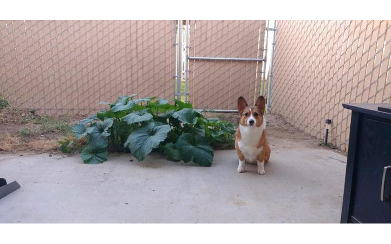 家裡的柯基「不小心吃下南瓜籽」,從此這家人再也不擔心沒南瓜吃了!