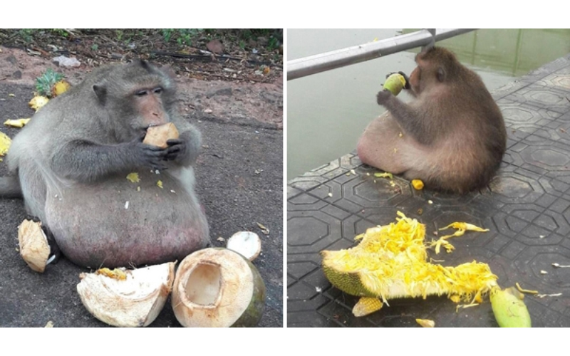 這隻猴子猛吃遊客給的食物「胖成豬」,被送去減肥營!網友:奶奶也有養猴子?