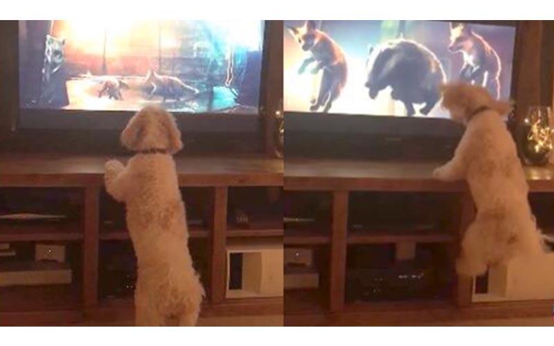 這隻可愛小狗每次一看到「蹦床廣告」都會立刻衝到電視前,然後就開始瘋狂的...