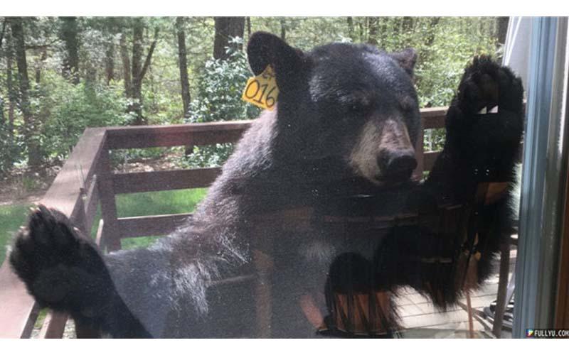 奶奶在家烤布朗尼,香味引來超大黑熊光顧!網友:是想吃奶奶還是布朗尼?