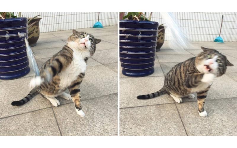 這隻貓看到「逗貓棒像看到鬼」一樣,超綜藝的驚嚇表情讓大家笑歪!