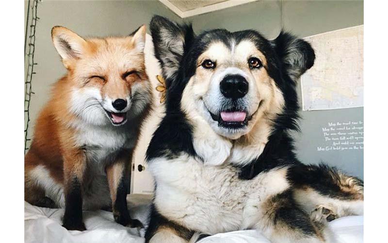 她先養了牧羊犬,接著又領養一隻小狐狸,完全沒想過牠們性格差那麼多啊!