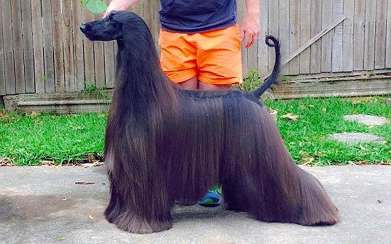 牠被譽為「世界上最美的狗名模」一身烏黑秀麗的毛髮,真的很優雅高貴!