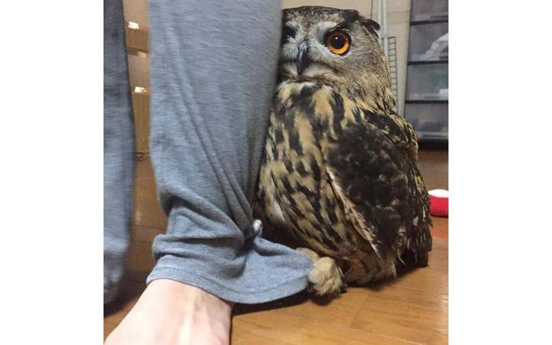 看到陌生人到家裡,萌萌貓頭鷹便會躲在主人身後,腳還緊緊抓著褲子!可愛極了!