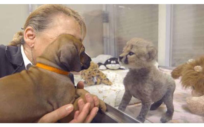 動物園找了一隻小狗給被媽媽遺棄的小獵豹作伴一起長大,現在牠們已經分不開彼此了!