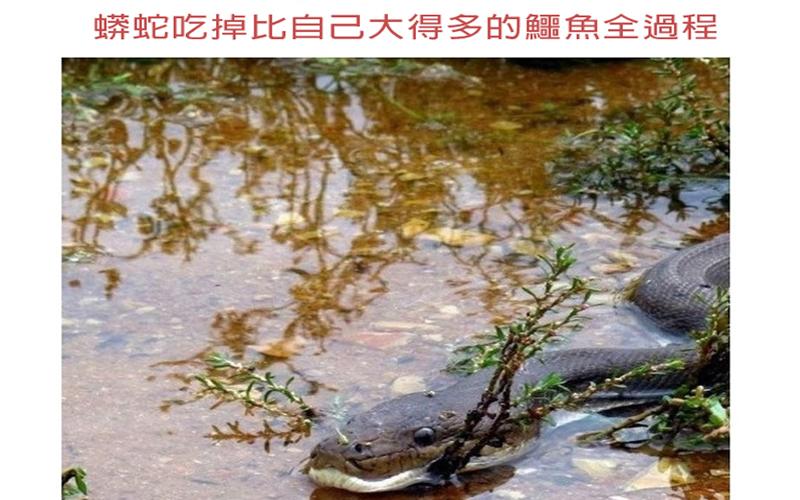 蟒蛇吃掉比自己體積大一倍的鱷魚全紀錄...沒想到蟒蛇這麼厲害啊!
