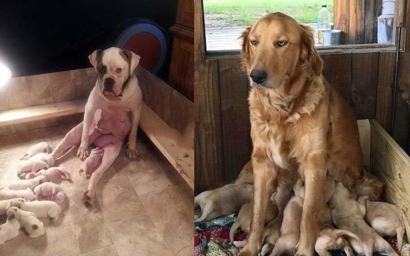 12隻餵奶餵到露出厭世表情的狗媽媽,網友看到笑翻了!!