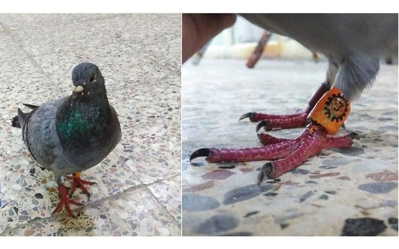 撿到有綁腳環的「迷路鴿子」你會送回去嗎?網友表示:不要送!因為送回去後果超悲慘...