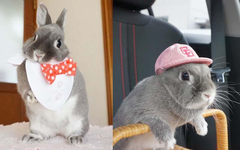 這隻小灰兔萌壞了好多人!原來灰兔的可愛度根本不輸白兔啊!