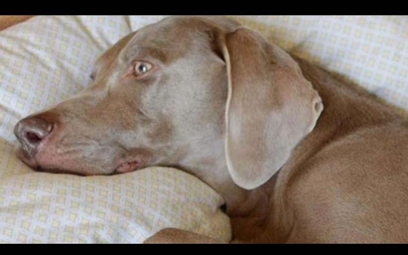 他因好夥伴過世而鬱鬱寡歡,連獸醫都沒辦法!直到飼主又帶回這對小兄弟,讓大狗漸漸拾回笑容!