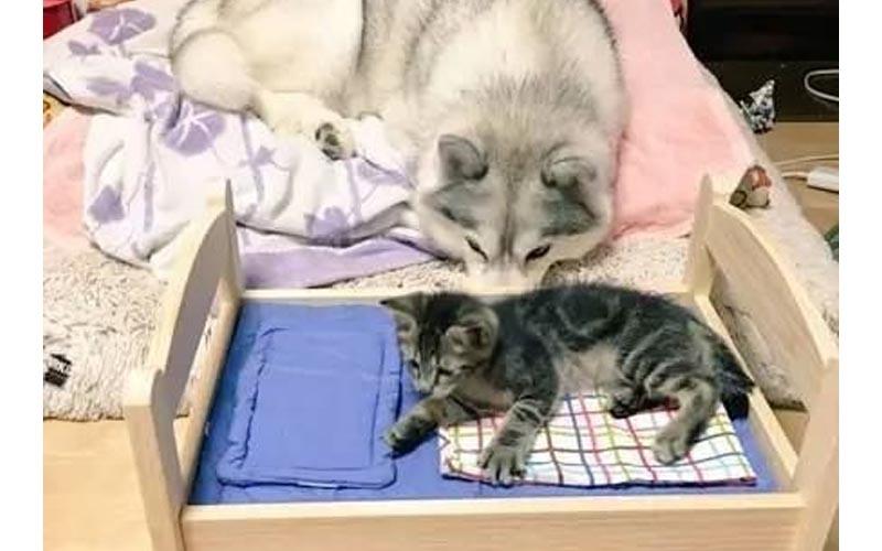 主人幫小貓組了一個小睡床,沒想到哈士奇竟然吃醋,變成這樣XD