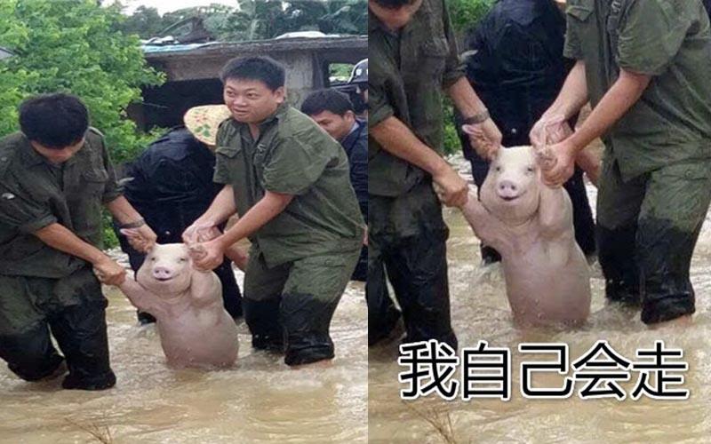 這隻發生洪水時被解救的小豬,因臉上掛著笑而爆紅!被網友們神改各種心聲,快笑死XD