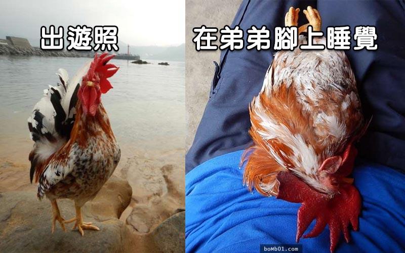 弟弟與眾不同的喜好,他養了一隻寵物雞!百般呵護,看到這些照片網友都萌了!