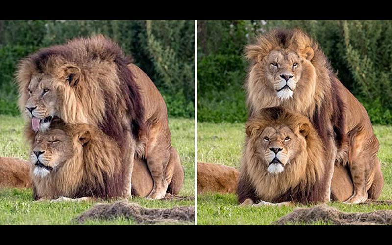 他驚見2隻雄獅無視母獅在一旁看「直接啪啪啪」,大家一看母獅超困惑的表情都笑翻了!