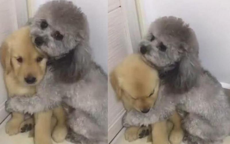 「不要再罵牠了啦~」小金毛做壞事被主人罵,泰迪過來一臉擔心的護著牠!